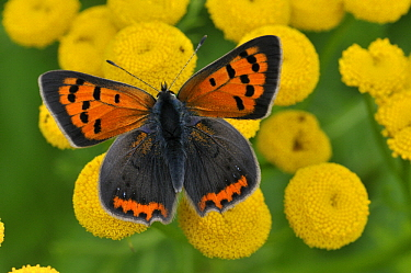 Small Copper (Lycaena phlaeas) butterfly on Common Tansy (Tanacetum vulgare), Ijsseldelta, Zalk, Netherlands  -  Philip Friskorn/ NiS