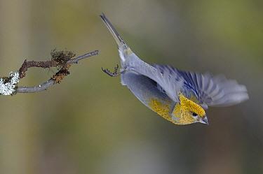 Pine Grosbeak (Pinicola enucleator) female taking off, Kaamanen, Finland  -  Philip Friskorn/ NiS