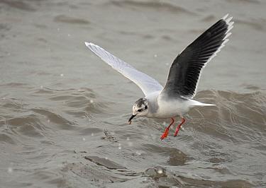 Little Gull (Hydrocoloeus minutus) flying, Holwerd, Friesland, Netherlands  -  Ruurd Jelle van der Leij/ Buiten-beeld