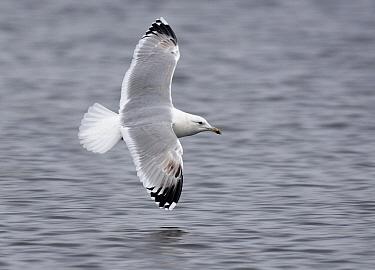Caspian Gull (Larus cachinnans) flying over water, Grou, Friesland, Netherlands  -  Ruurd Jelle van der Leij/ Buiten-beeld