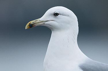 Caspian Gull (Larus cachinnans), Grou, Friesland, Netherlands  -  Ruurd Jelle van der Leij/ Buiten-beeld