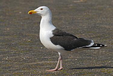 Great Black-backed Gull (Larus marinus), Lauwersmeer, Groningen, Netherlands  -  Ruurd Jelle van der Leij/ Buiten-beeld