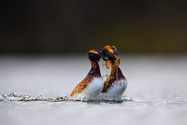 Horned Grebe (Podiceps auritus) pair in courtship display, Estonia  -  Sven Zacek/ NiS