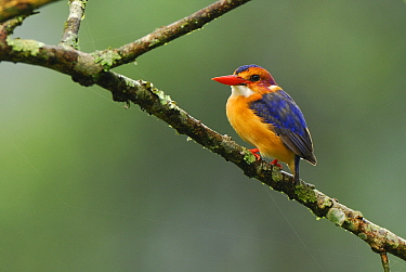 Malachite Kingfisher (Alcedo cristata), Virunga Mountains, Uganda  -  Jan Vermeer