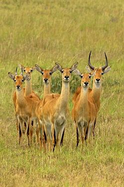 Grant's Gazelle (Nanger granti) buck and harem, Uganda  -  Jan Vermeer