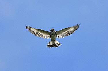 Pied Kingfisher (Ceryle rudis) flying, Uganda  -  Jan Vermeer