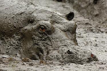 Hippopotamus (Hippopotamus sp) taking a mudbath, Uganda  -  Jan Vermeer