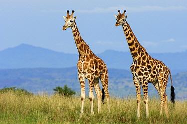 Rothschild Giraffe (Giraffa camelopardalis rothschildi) pair, Uganda  -  Jan Vermeer