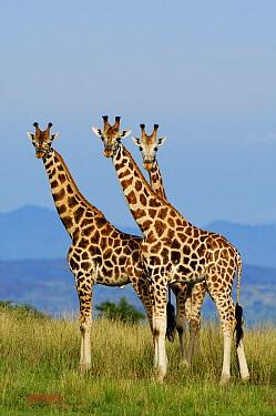 Rothschild Giraffe (Giraffa camelopardalis rothschildi) trio, Uganda  -  Jan Vermeer