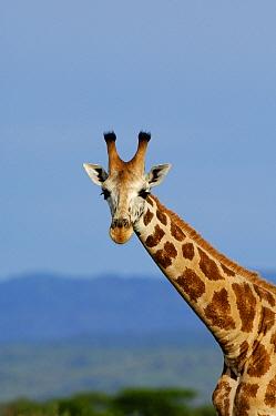 Rothschild Giraffe (Giraffa camelopardalis rothschildi), Uganda  -  Jan Vermeer