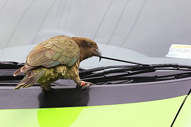 Kea (Nestor notabilis) tearing rubber off car windshield, Arthur's Pass National Park, South Island, New Zealand  -  Stephen Belcher