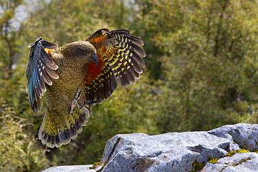 Kea (Nestor notabilis) landing, Arthur's Pass National Park, South Island, New Zealand  -  Stephen Belcher