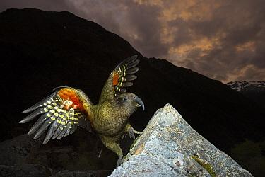 Kea (Nestor notabilis), Arthur's Pass National Park, South Island, New Zealand  -  Stephen Belcher