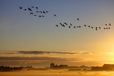 Geese flying over misty agricultural fields, Oud-Ade, Zuid-Holland, Netherlands  -  Aad Schenk/ NiS