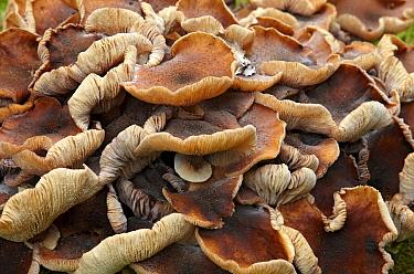 Honey Fungus (Armillaria mellea), Netherlands  -  Aad Schenk/ NiS