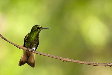 Buff-tailed Coronet (Boissonneaua flavescens) hummingbird, Bellavista Cloud Forest Reserve, Ecuador  -  Bart Heirweg/ Buiten-beeld