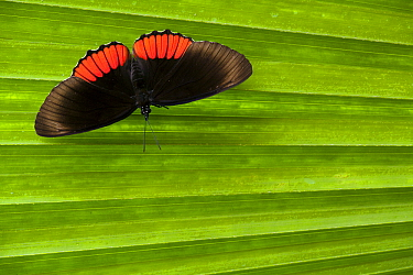 Red Rim (Biblis hyperia) butterfly, Napo River, Ecuador  -  Bart Heirweg/ Buiten-beeld