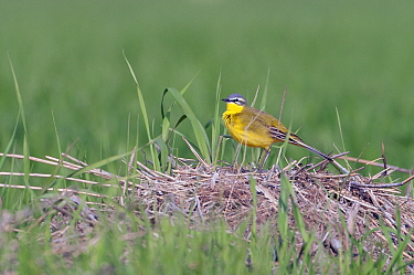 Blue-headed Wagtail (Motacilla flava) on nest, Lauwersmeer, Friesland, Netherlands  -  Marcel van Kammen/ NiS