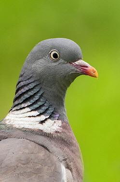 Common Wood-pigeon (Columba palumbus) portrait, De Westereen, Friesland, Netherlands  -  Marcel van Kammen/ NiS