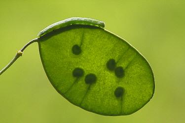 Orange Tip (Anthocharis cardamines) caterpillar on Honesty (Lunaria annua) seedpod, Vriezenveen, Overijssel, Netherlands  -  Karin Rothman/ NiS