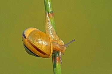 White-lipped Grove Snail (Cepaea hortensis) on stalk, Vriezenveen, Overijssel, Netherlands  -  Karin Rothman/ NiS