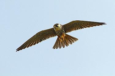 Eurasian Hobby (Falco subbuteo) eating a dragonfly while flying, Utrecht, Netherlands  -  Lesley van Loo/ NiS