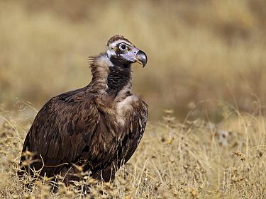 Eurasian Black Vulture (Aegypius monachus), Extremadura, Spain  -  Martin Woike/ NiS