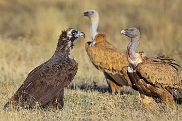 Eurasian Black Vulture (Aegypius monachus) with two Griffon Vultures (Gyps fulvus), Extremadura, Spain  -  Martin Woike/ NiS