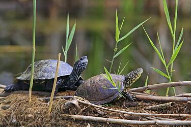 European Pond Turtle (Emys orbicularis) with Caspian Terrapin (Mauremys caspica), Lake Kerkini, Greece  -  Martin Woike/ NiS
