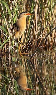 Little Bittern (Ixobrychus minutus) male amid reeds, Lake Kerkini, Greece  -  Martin Woike/ NiS