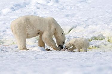 Polar Bear (Ursus maritimus) female and cub feeding, Svalbard, Norway  -  Ronald Stiefelhagen/ NiS