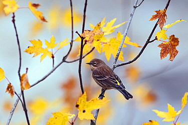 Yellow-rumped Warbler (Setophaga coronata) amid autumn leaves, Northwoods, Minnesota  -  Ronald Stiefelhagen/ NiS