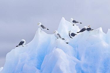 Black-legged Kittiwake (Rissa tridactyla) group resting on iceberg, Svalbard, Norway  -  Ronald Stiefelhagen/ NiS