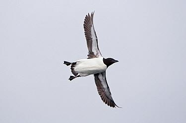 Brunnich's Guillemot (Uria lomvia) flying, Svalbard, Norway  -  Ronald Stiefelhagen/ NiS