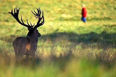Red Deer (Cervus elaphus) stag looking at hiker, Copenhagen, Denmark  -  Martin van Lokven
