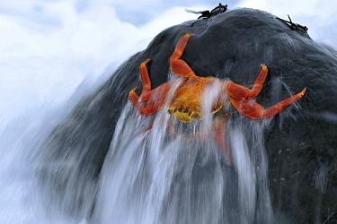 Sally Lightfoot Crab (Grapsus grapsus) in surf, Galapagos Islands, Ecuador  -  Martin van Lokven