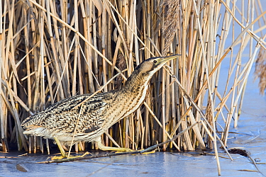 Great Bittern (Botaurus stellaris) camouflaged in reeds, Zuid-Holland, Netherlands  -  Erik van Velden/ NiS