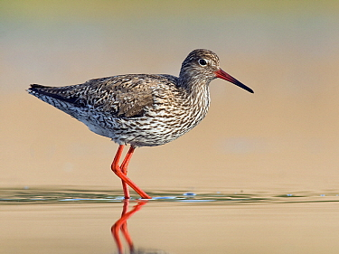 Common Redshank (Tringa totanus) wading through shallow water, Zuid-Holland, Netherlands  -  Erik van Velden/ NiS
