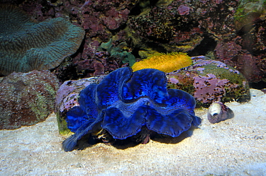 Giant Clam (Tridacna gigas) showing mantle, Red Sea, Egypt  -  Hans Leijnse/ NiS