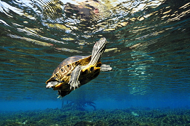 Florida Red-bellied Turtle (Pseudemys nelsoni) swimming, Florida  -  Hans Leijnse/ NiS