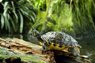 Florida Red-bellied Turtle (Pseudemys nelsoni), Florida  -  Hans Leijnse/ NiS
