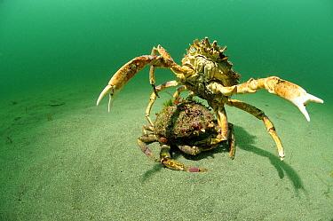 Spiny Spider Crab (Maja squinado) pair mating, England  -  Hans Leijnse/ NiS
