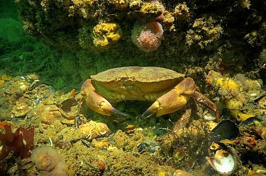 Edible Crab (Cancer pagurus), England  -  Hans Leijnse/ NiS