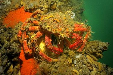 Spiny Spider Crab (Maja squinado), England  -  Hans Leijnse/ NiS
