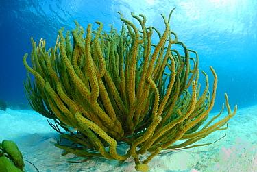 Gorgonian (Pseudopterogorgia sp), Bonaire, Lesser Antilles  -  Hans Leijnse/ NiS