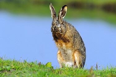 European Hare (Lepus europaeus) grooming, Schagen, Noord-Holland, Netherlands  -  Do van Dijk/ NiS