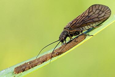 Alderfly (Sialis lutaria) tending to eggs, Schagen, Noord-Holland, Netherlands  -  Do van Dijk/ NiS