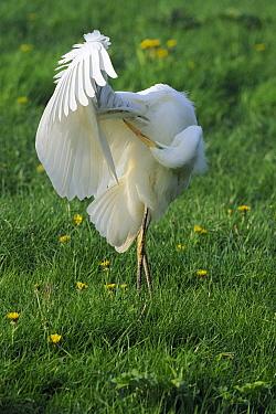 Great Egret (Ardea alba) preening, Schagen, Noord-Holland, Netherlands  -  Do van Dijk/ NiS