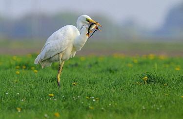 Great Egret (Ardea alba) with a fish in its bill, Schagen, Noord-Holland, Netherlands  -  Do van Dijk/ NiS