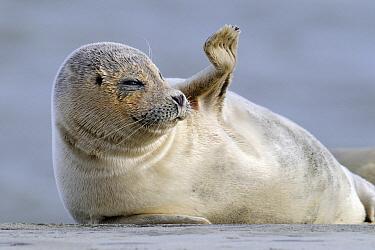 Common Seal (Phoca vitulina) waving, Den Helder, Noord-Holland, Netherlands  -  Do van Dijk/ NiS